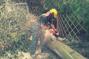 Baumfällen einer Fichte