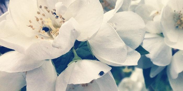 Jasminstrauch Blüten